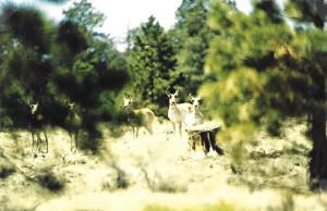 Antelope Near Chino Peak Guzzler