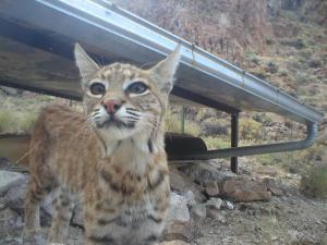 Bobcat(gaunt)